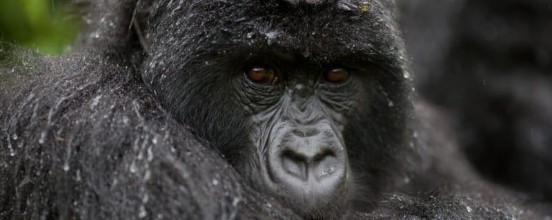Uganda Gorilla | Art Of Safari