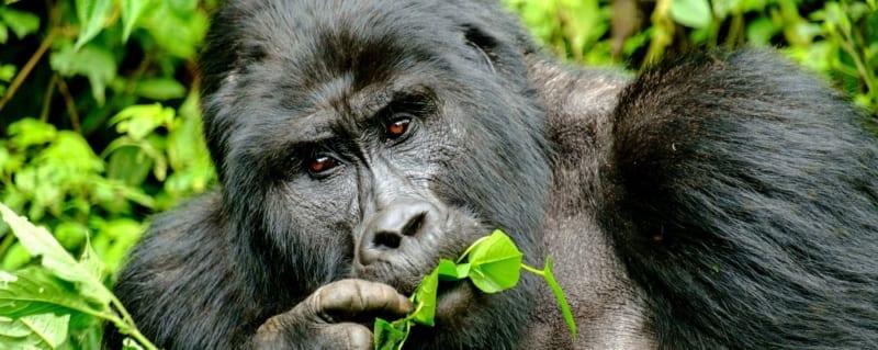Congo | Gorilla Trekking
