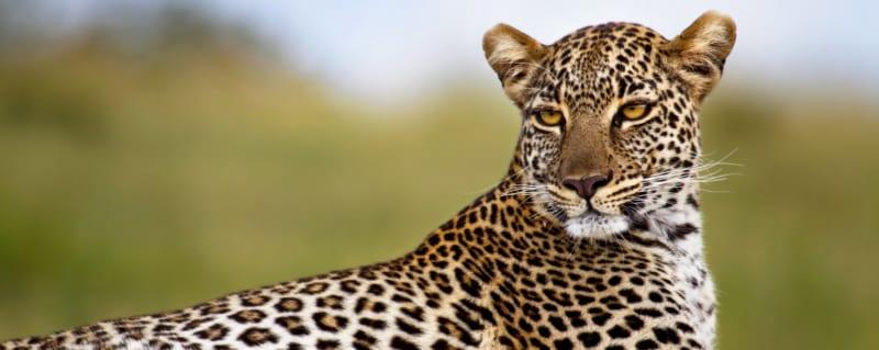 Kenya | Leopard