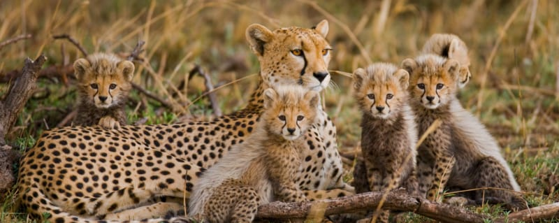 Tanzania | Serengeti | Cheetah and Cubs