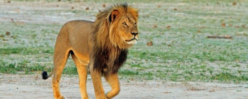 Botswana   Male Lion   Hwange