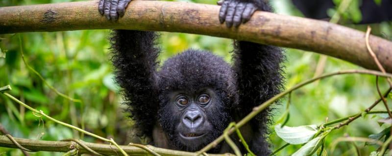 Uganda | Gorilla | Bwindi Impenetrable Forest