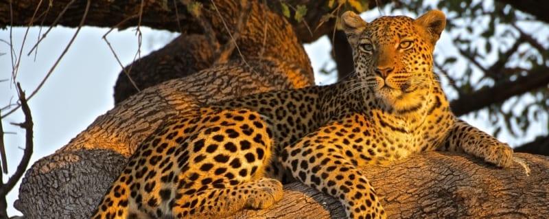 Tanzania | Serengeti | Leopard
