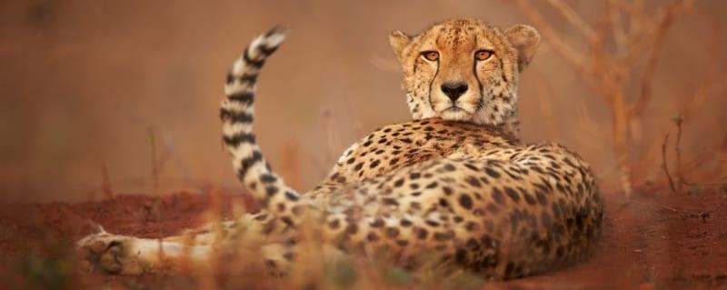 South Africa | Cheetah | Phinda Vlei